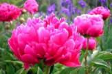 Pünkösdi Rózsás Napok